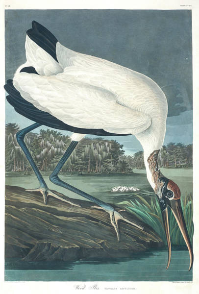 Wall Art - Painting - Wood Ibis by John James Audubon