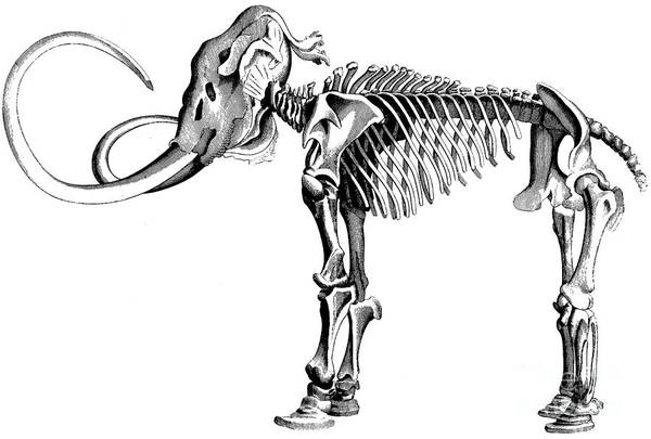 Creature Drawing - Woolly Mammoth Skeleton by English School