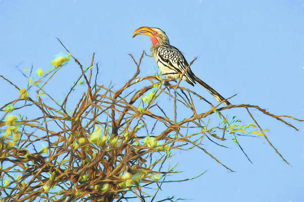 Photograph - Fancy Yellow-billed Hornbill by Kay Brewer