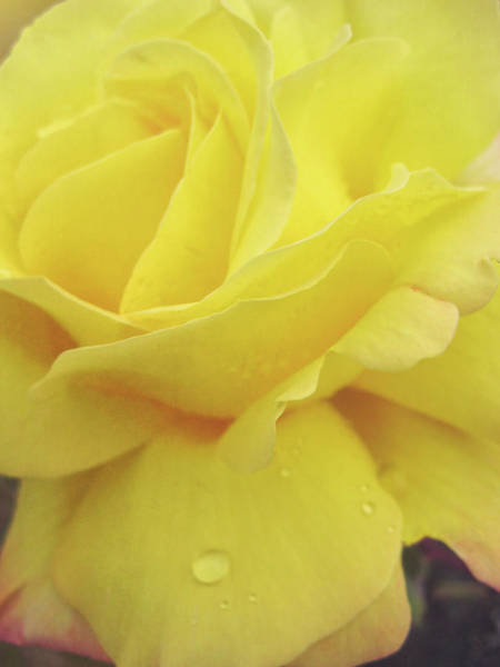 Photograph - Yellow Seville Rose by JAMART Photography