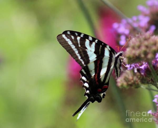 Photograph - Zebra Swallowtail Butterfly In Garden by Karen Adams