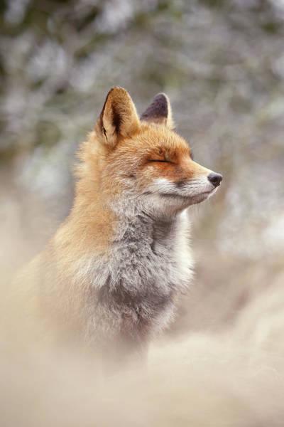 Cuteness Photograph - Zen Fox Series- Calm Fox by Roeselien Raimond