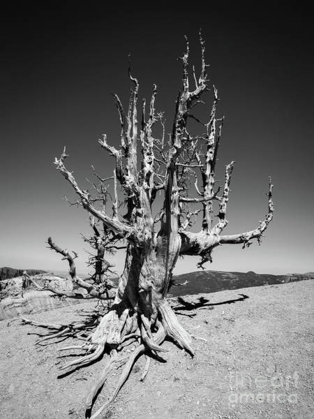 Ancient America Photograph - 2000 Year Old Bristle Pine Tree Cedar Breaks National Park by Edward Fielding