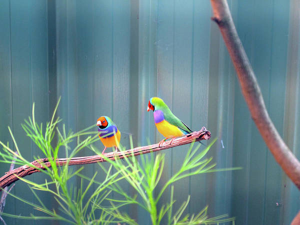 Photograph - Aussie Rainbow Lovebirds by Kathy Corday