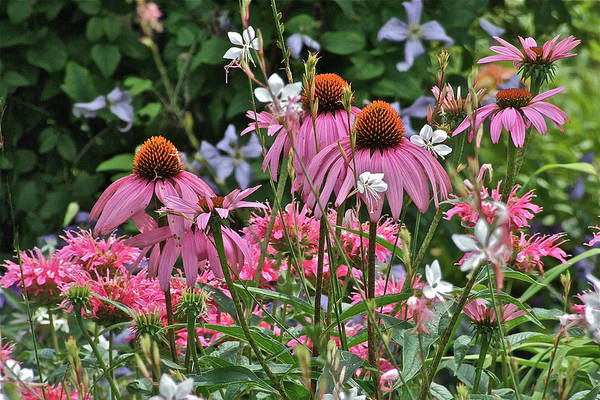 Photograph - 2013 Mid July At The Gardens Coneflowers by Janis Nussbaum Senungetuk
