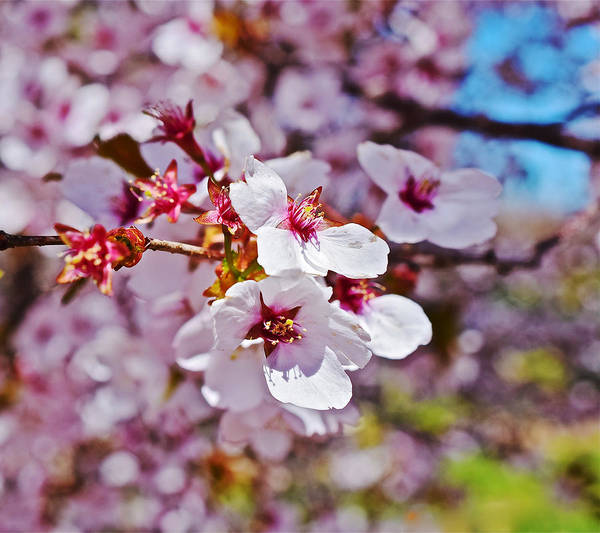 Photograph - 2015 Early Spring Cherry Blossoms 1 by Janis Nussbaum Senungetuk