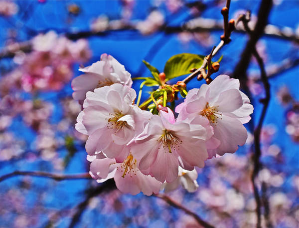 Photograph - 2015 Early Spring Cherry Blossoms 2 by Janis Nussbaum Senungetuk
