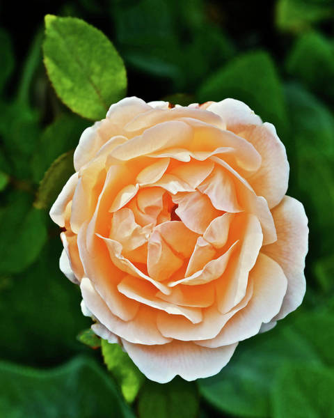Photograph - 2015 Late August At The Garden Judy's Rose by Janis Nussbaum Senungetuk
