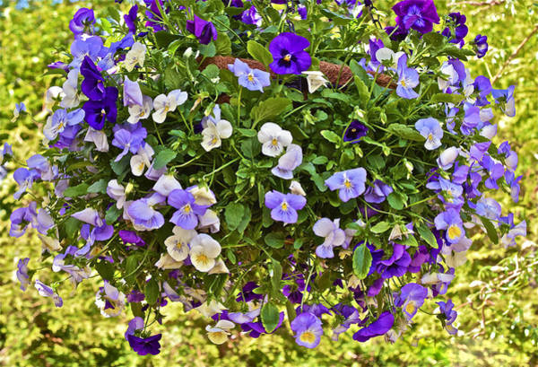Photograph - 2015 Summer's Eve At The Garden Pansy Basket by Janis Nussbaum Senungetuk