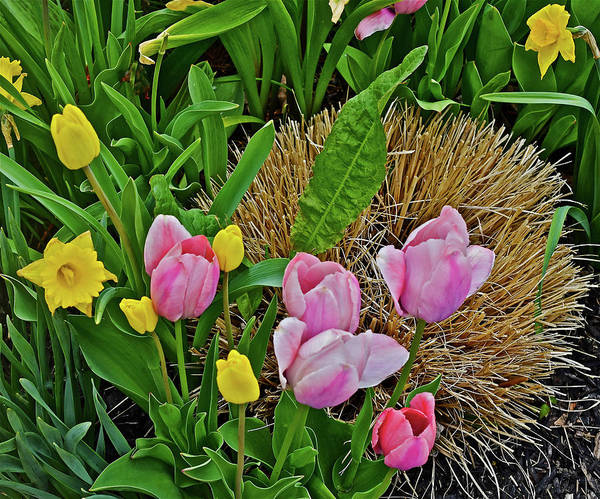Photograph - 2016 Acewood Tulips And Daffodils by Janis Nussbaum Senungetuk