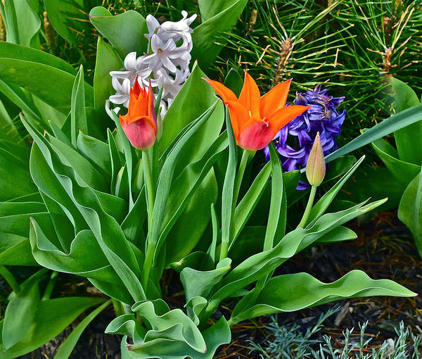 Photograph - 2016 Acewood Tulips And Hycinth by Janis Nussbaum Senungetuk