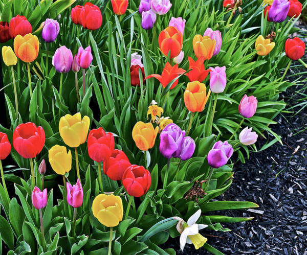 Photograph - 2016 Acewood Tulips Mayday 1 by Janis Nussbaum Senungetuk