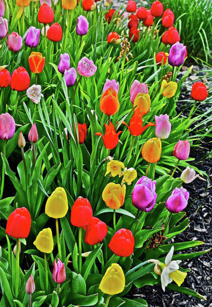 Photograph - 2016 Acewood Tulips Overiew by Janis Nussbaum Senungetuk