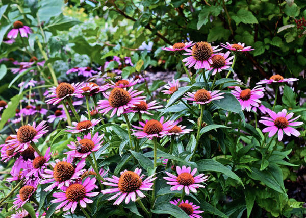 Photograph - 2016 August At The Garden Pink Coneflowers by Janis Nussbaum Senungetuk