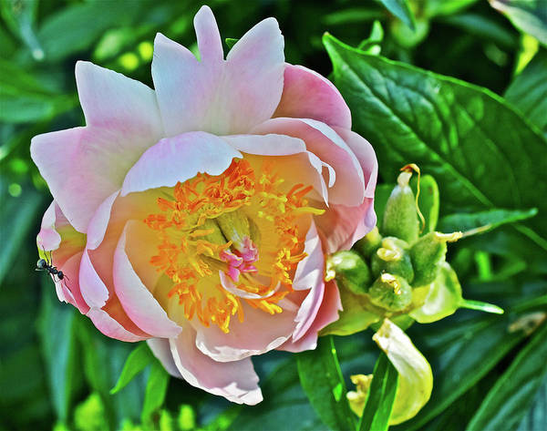 Photograph - 2016 Early June Abalone Pearl Peony 1 by Janis Nussbaum Senungetuk