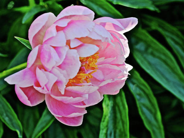 Photograph - 2016 Early June Abalone Pearl Peony 3 by Janis Nussbaum Senungetuk