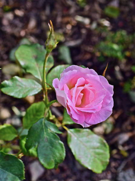 Photograph - 2016 Early October Rose by Janis Nussbaum Senungetuk