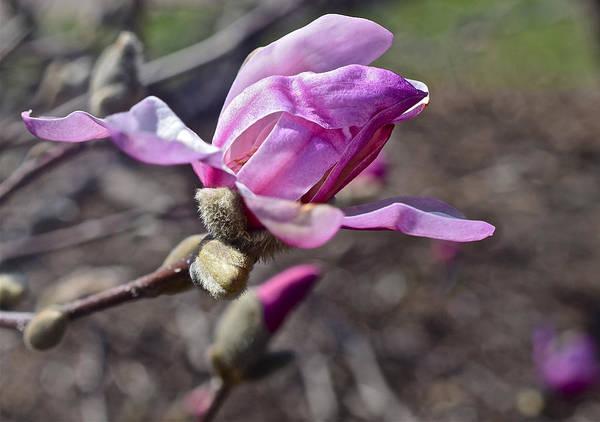 Photograph - 2016 Early Spring Loebner Magnolia 1 by Janis Nussbaum Senungetuk