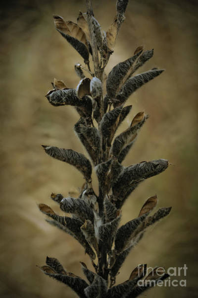 Wall Art - Photograph - 2016 Horicon Marsh - Seed Pods Unfurled by Mary Machare