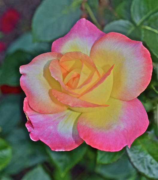 Photograph - 2016 July At The Garden Love And Peace Rose 1 by Janis Nussbaum Senungetuk