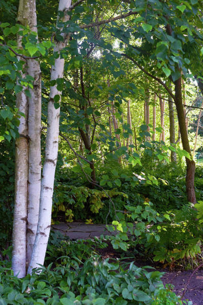 Photograph - 2016 July Garden Birch Trees Along The Path by Janis Nussbaum Senungetuk