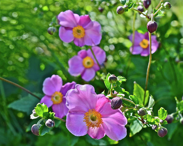 Photograph - 2016 Late August At The Garden September Charm Anemone by Janis Nussbaum Senungetuk