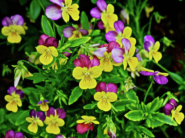 Photograph - 2016 Late June Herb Garden Pansies by Janis Nussbaum Senungetuk