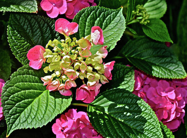 Photograph - 2016 Late June Hydrangea Portrait by Janis Nussbaum Senungetuk