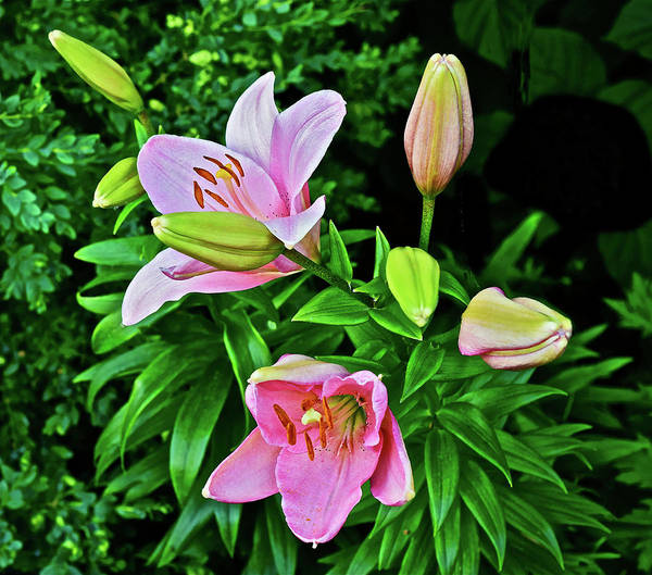 Photograph - 2016 Late June Pink Lilies 3 by Janis Nussbaum Senungetuk