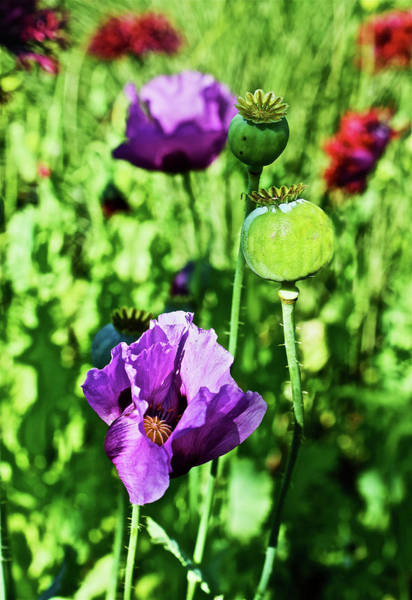 Photograph - 2016 Late June Poppies 2 by Janis Nussbaum Senungetuk