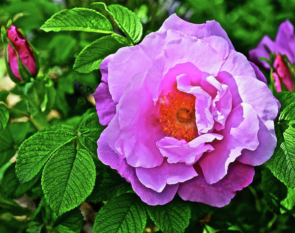 Photograph - 2016 Late May Buffalo Gal Rugosa Rose by Janis Nussbaum Senungetuk