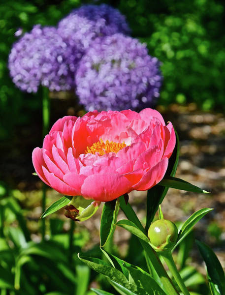 Photograph - 2016 Late May Coral Supreme Peony by Janis Nussbaum Senungetuk