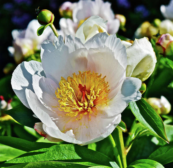 Photograph - 2016 Late May Lavender Whisper Peony 1 by Janis Nussbaum Senungetuk