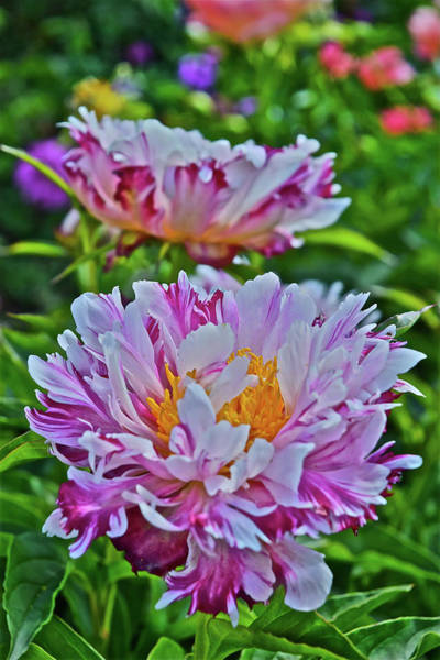 Photograph - 2016 Late May Pink Lauau Peonies by Janis Nussbaum Senungetuk