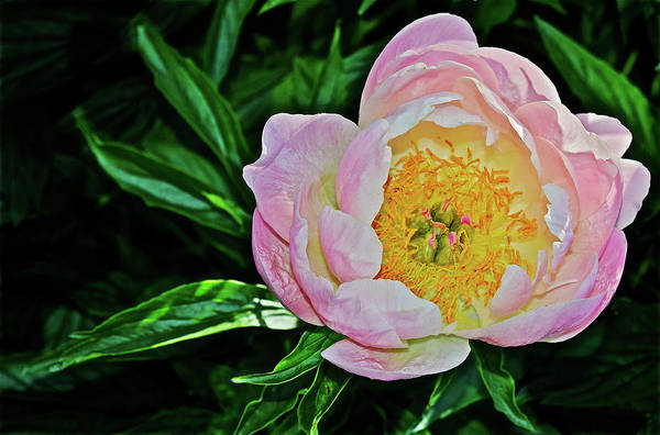 Photograph - 2016 Late May Soft Apricot Kisses Peony by Janis Nussbaum Senungetuk