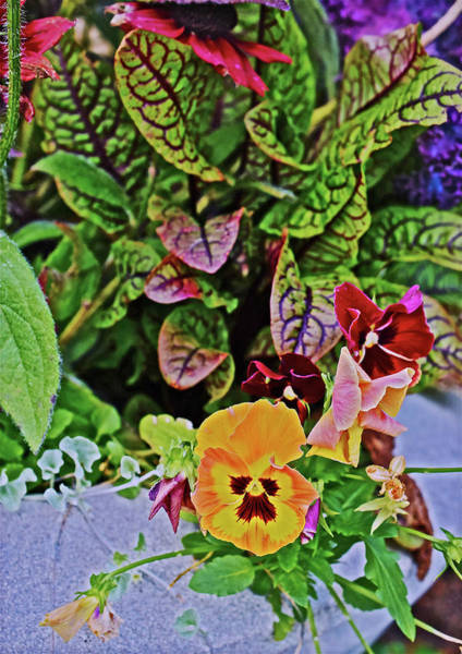 Photograph - 2016 Late October At The Garden Autumn Palette Orange Pansies by Janis Nussbaum Senungetuk