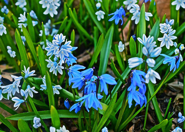 Photograph - Siberian Squill And Striped Squill by Janis Nussbaum Senungetuk