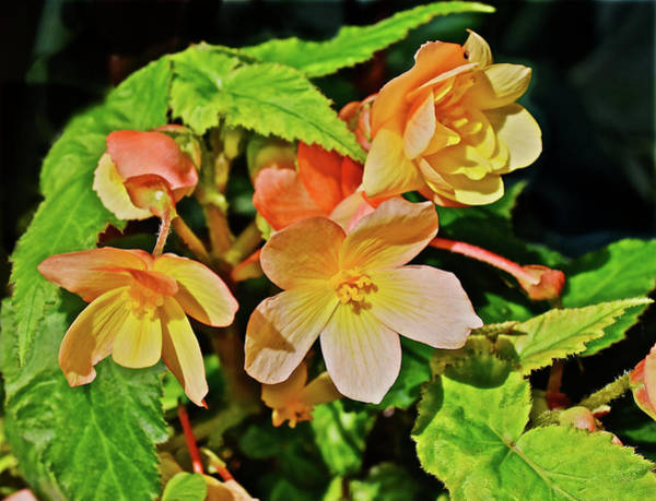 Photograph - 2016 Mid June Apricot Begonia 1 by Janis Nussbaum Senungetuk