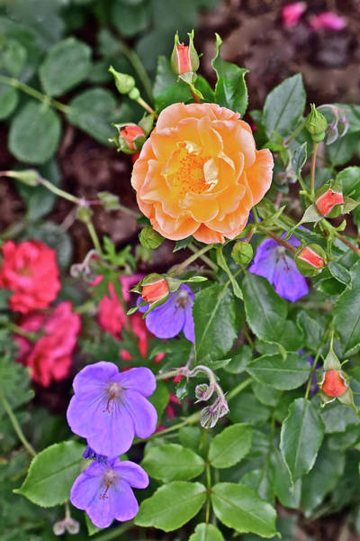 Photograph - 2016 Mid June At The Gardens Carefree Sunshine Rose by Janis Nussbaum Senungetuk