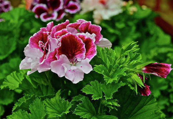 Photograph - 2016 Mid May Geraniums by Janis Nussbaum Senungetuk