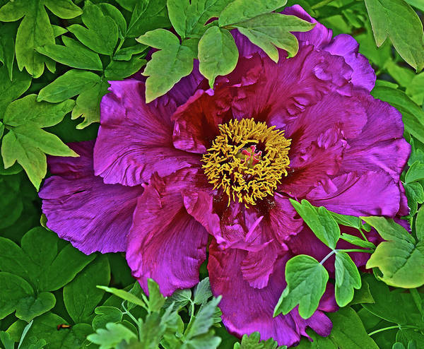 Photograph - 2016 Mid May Peony 2 by Janis Nussbaum Senungetuk