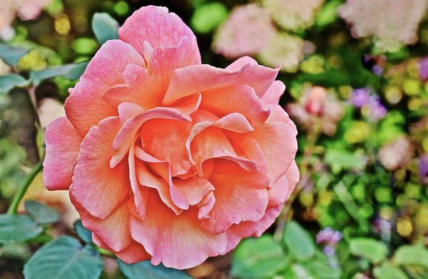 Photograph - 2016 Mid October At The Garden Fall Rose 1 by Janis Nussbaum Senungetuk