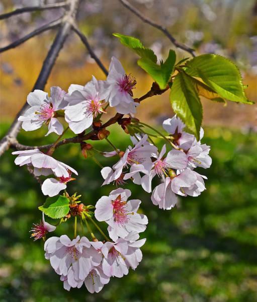 Photograph - 2016 Olbrich Cherry Blossoms 3 by Janis Nussbaum Senungetuk