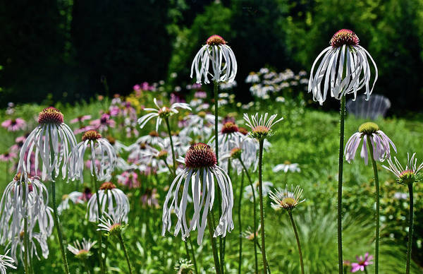 Photograph - 2016 Summer's Eve Coneflowers 2 by Janis Nussbsum Senungetuk