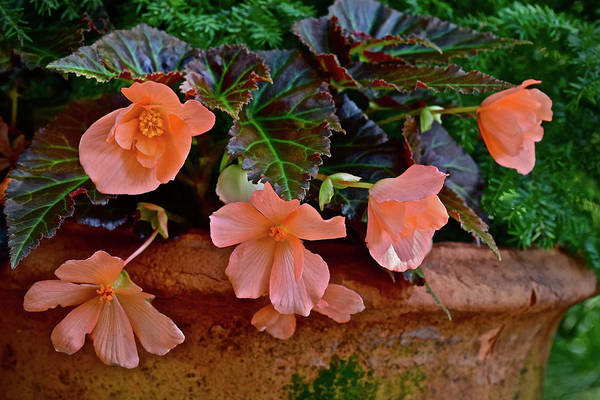 Photograph - 2017 Early July At The Gardens Begonias 2 by Janis Nussbaum Senungetuk