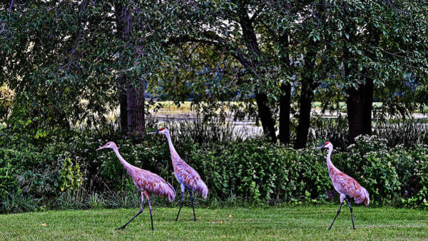 Photograph - 2017 Early September Sandhill Cranes 2 by Janis Nussbaum Senungetuk