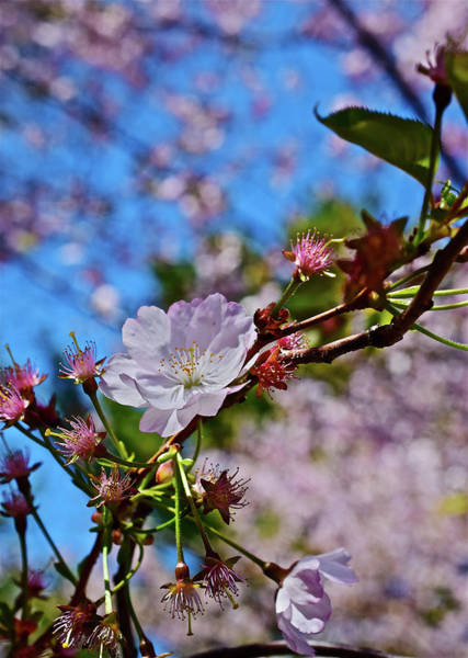 Photograph - 2017 Earth Day Accolade Flowering Cherry 1 by Janis Nussbaum Senungetuk