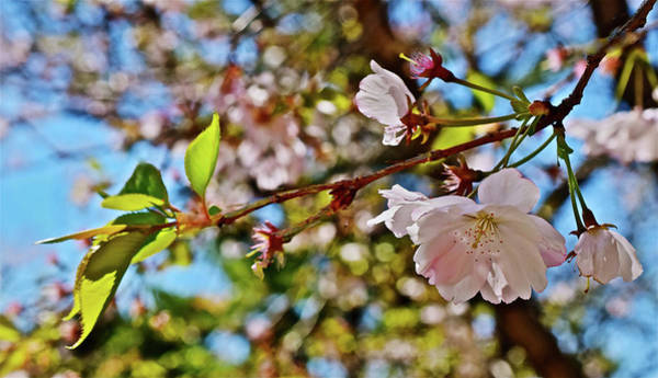Photograph - 2017 Earthday Olbrich Gardens Accolade Flowering Cherry 2 by Janis Nussbaum Senungetuk