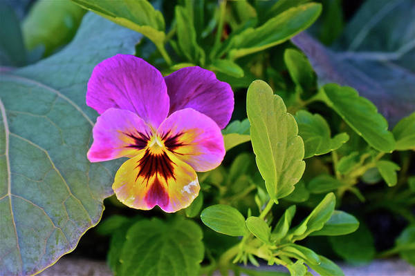 Photograph - 2017 Earthday Olbrich Gardens Welcoming Pansy by Janis Nussbaum Senungetuk
