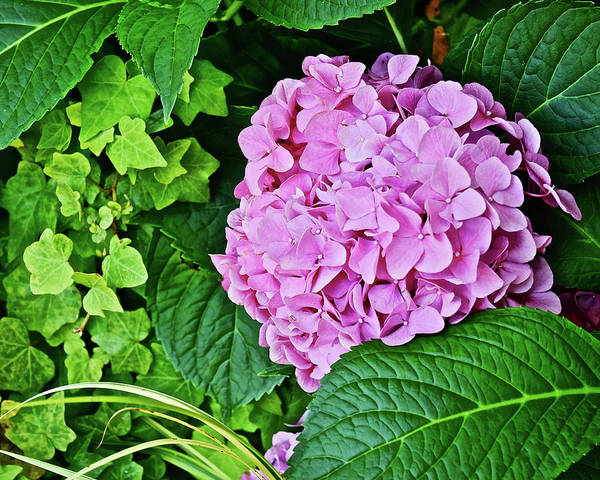 Photograph - 2017 End Of July At The Gardens Pink Hydrangea by Janis Nussbaum Senungetuk